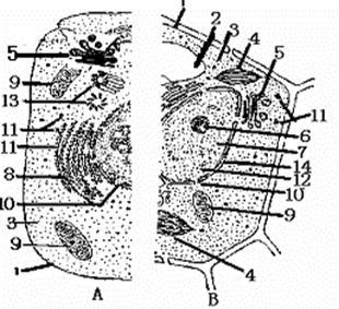 植物细胞亚显微结构模式图