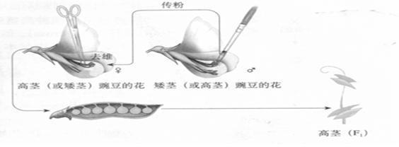 题干 题干     从花的结构上分析,孟德尔选用豌豆做杂交实验取得成功
