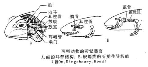 考查脊椎动物的听觉器官