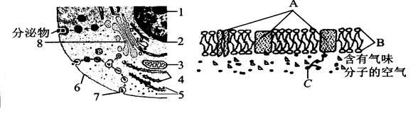 如图所示为高等动物细胞及细胞膜的亚显微结构模式